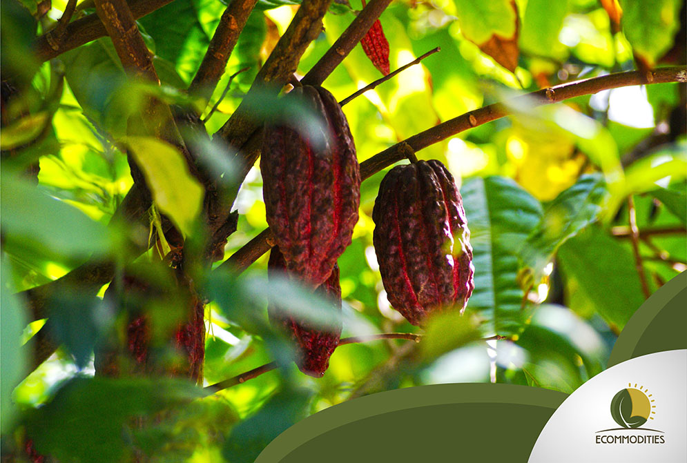 Where Does Cacao Trees Grow?